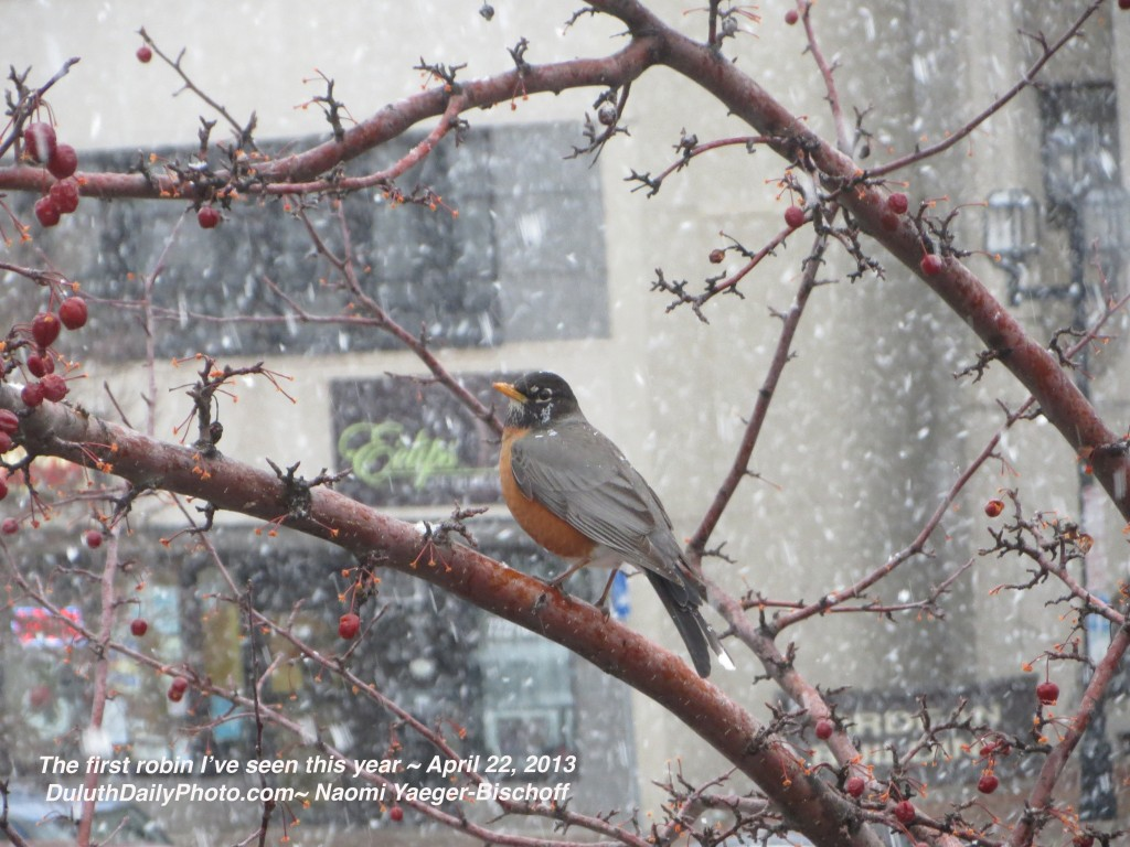 First spring robin