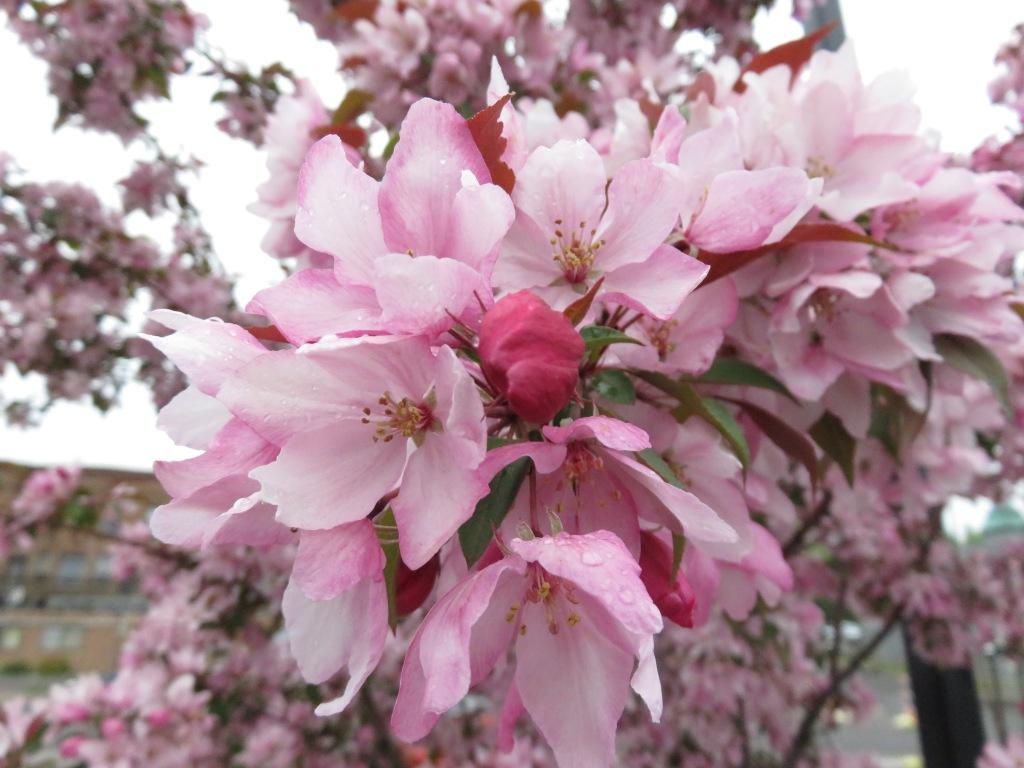 0527.ddp blossoms.jpg - 1