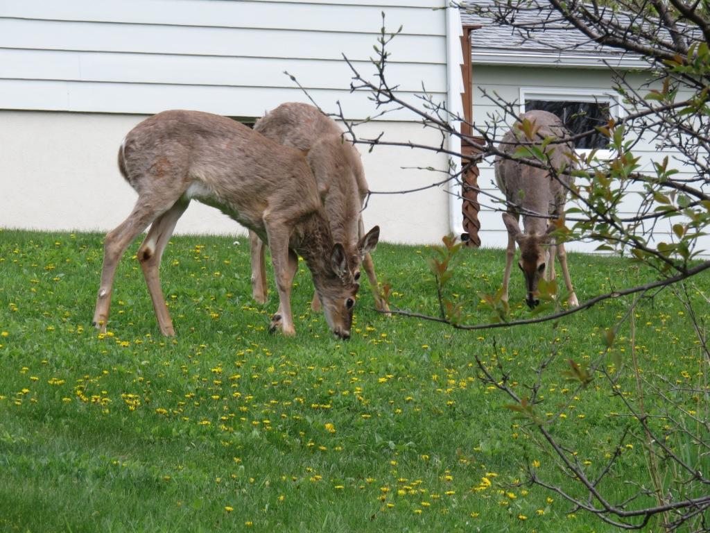 16.05.11. ddp deer.jpg - 1