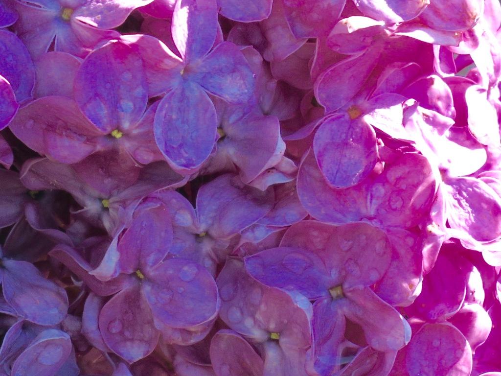 DDP.16.06.16 lilac closeup.jpg - 1